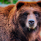 Portrait of a Grizzly Bear.jpg