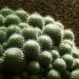 Bunch of Cactus by Arti Fakts - Nature Up Close Other plants ( spike, balls, grape, bunch, artifakts, light, cactus,  )