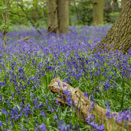 Bluebells at Aqualate Mere by Ruth Mashiter - Landscapes Forests ( woodland, bluebells, aqualate )