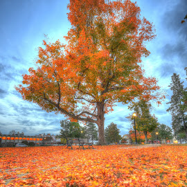 Majestic Tree by Bruce Forman - City,  Street & Park  City Parks ( hdr;tree;autumn;fall )