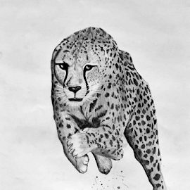 Full Tilt by Paul Murray - Drawing All Drawing ( pencil, cheetah, wildlife, drawing, animal )