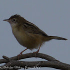 Zitting Cisticola/Fan-tailed Warbler