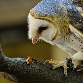 Snack Time For Emma by Roy Walter - Animals Birds ( captivity, animals, barn owl, birds )