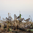 Dunlin (non breeding plumage)