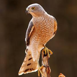 Shikra  by S Balaji - Animals Birds ( s.balaji, animals, bird of prey, style, nature, birds, shikra,  )