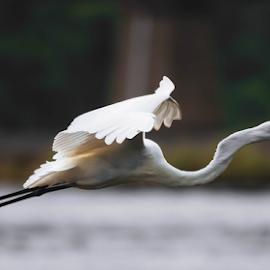 Bird in Flight by Rakesh Baro - Animals Birds ( cranes, d7000, 300mm f4+1.4tc, rakesh baro )