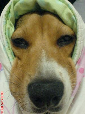 [DOG]睡覺有怪癖的紅豆妹妹!