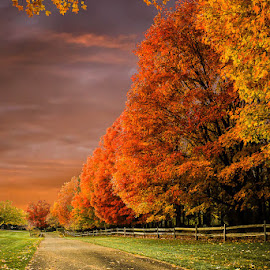 The Height of Color by Laura Robles - Landscapes Forests ( maples, color, autumn, sunset, fall, sugar maple, trees,  )