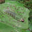 Leaf roller caterpillar
