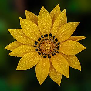 gazaniya-yellowws.jpg