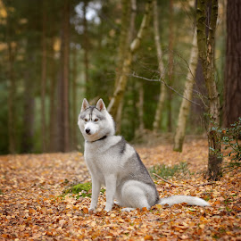 San by Paweł Prus - Animals - Dogs Portraits ( intelligent, breed, almond, canis, pull, show, sled, harsh, siberia, colour, leafs, autumn, family, icee, husky, grey, coat, sibe, spitz, white, forest, siberian, portrait, sitt, sitting, color, female, pet, fall, lupus, outdoor, sibirsky, ears, active, brown, square, dog, dense, nose, shaped )