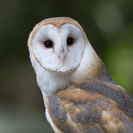 Alert Barn Owl by Janet Marsh - Animals Birds ( barn owl sulfur creek,  )