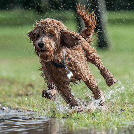 by Michael  M Sweeney - Animals - Dogs Running ( chocolate labradoodle )