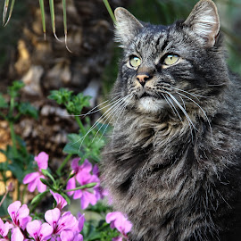 by Mario J - Animals - Cats Portraits ( cat, maine coon, portrait,  )