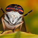 Striped Horsefly