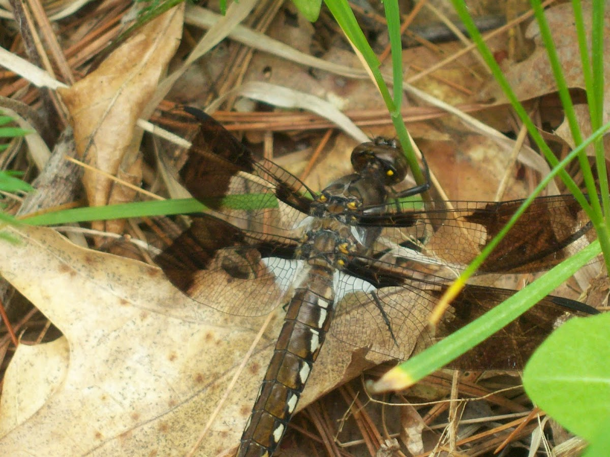Common Whitetail -Dragonfly