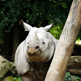 Rhinoceros 1 by Anita Berghoef - Animals Other Mammals ( rhinoceros, mammal, animal )
