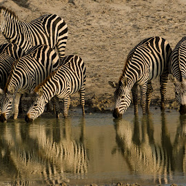 Taking a drink by Gene Myers - Animals Horses ( shotsbygene, reflection, waater, drinking, wildlife, africa, tanzania, gene myers, zebras,  )