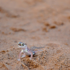 Dune Gecko by Jaclyn T - Animals Reptiles ( wild, sand, desert, nature, gecko, animal )