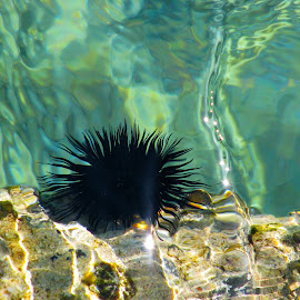 Sea Urchin by Oana Nastase - Animals Sea Creatures ( urchin, greece, sporades, sea, sea urchin, skiathos, aegean )