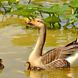Chinese Goose by Elizabeth Kraker - Animals Birds ( water, florida, wildlife, birds, goose,  )