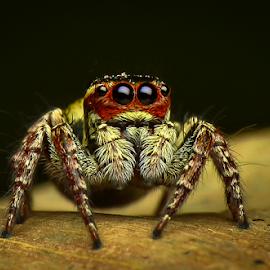 Jumping spider by Dave Lerio - Animals Insects & Spiders
