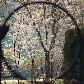Different perspective by Jo Lynn Hope - Nature Up Close Trees & Bushes ( nature, perspective, view, plum tree, blossoms,  )