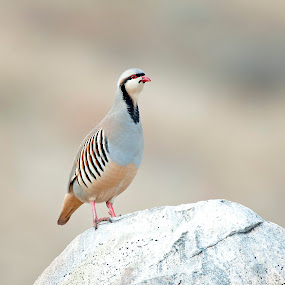 Chukar1 by Cody Hoagland - Animals Birds ( chukar )