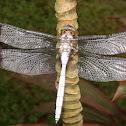 Malayan White Skimmer