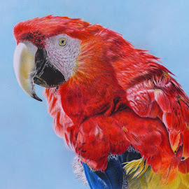 GUACAMAYO by Kile Zabala - Drawing All Drawing ( aves, color, guacamayo, dibujo, lápiz, animales )