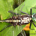 Black-shouldered Spiny leg Dragonfly