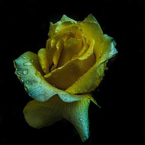 Rose in yelow color by Cristobal Garciaferro Rubio - Flowers Flowers in the Wild ( rose, petlas, drop, drops, roses, flowers, flower, petal )