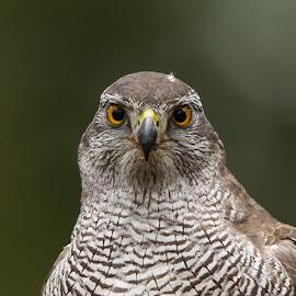Gosshawk clos up by Øyvind Håvarstein-Hustoft - Animals Birds