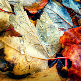 fallen by Todd Reynolds - Nature Up Close Leaves & Grasses ( fall, color, colorful, nature )