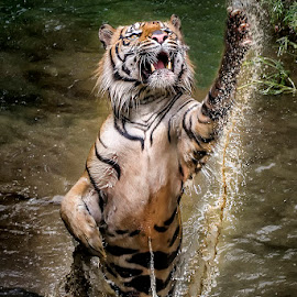 Jump baby jump by Dikky Oesin - Animals Lions, Tigers & Big Cats