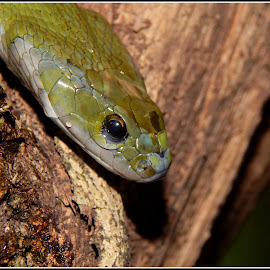 #GREEN KEELBACK by Sanky Dhande - Novices Only Wildlife