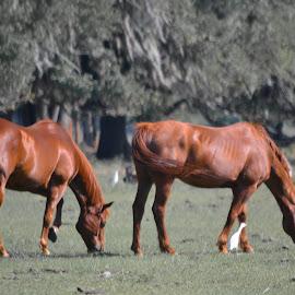 by Jan Herren - Animals Horses (  )