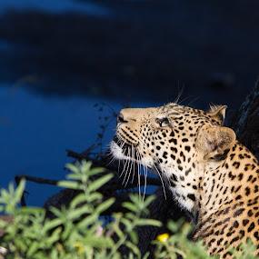 Stalking leopard by John Lyon - Animals Lions, Tigers & Big Cats ( botswana, spots, cat, hunting, stalk, hunt, africa, leopard )