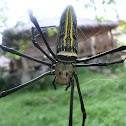 Golden Orb Weaver.