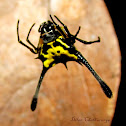 Horned Orb-weaver Spider