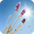 Lavender Field Live Wallpaper icon