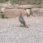 Rougequeue noir (Black Redstart)