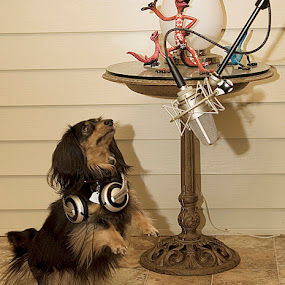 Gus Gus the Voiceover dog. by Jim Westcott - Animals - Dogs Portraits ( dogs, canines, animal humor )