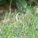 Western Natal Green Snake