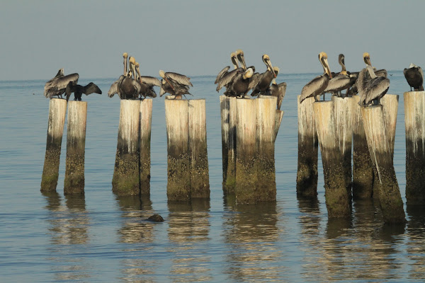 the habitat and feeding of the brown pelicans Only the brown pelican subspecies pelicanus occidentalis occidentalis is found in the caribbean brown pelicans, the smallest of all pelican species, weigh approximately 8 pounds with wingspans of almost 7 feet, and live up to 40 years a brown that was tagged in 1931 in florida was found again, healthy and doing well, in 1964.