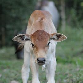 Little Cow by Dianne Deivie Dirk - Animals Other ( minahasautara, indonesia, sulut, cow, eyes )