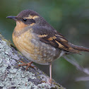 Varied Thrush (juvenile)