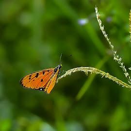 Kupu dan ilalang by Arkandaff Photograph - Animals Insects & Spiders