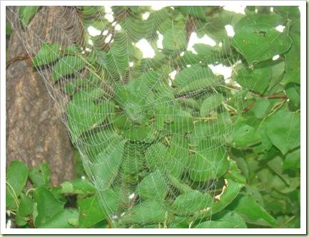 08-20-08 Spiderwebs 010