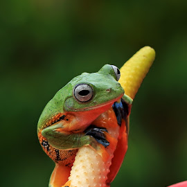 by Benny Sugiarto Eko Wardojo - Animals Amphibians